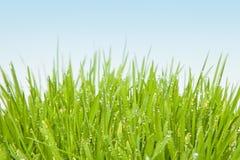 Свежая трава с падениями росы Стоковое Изображение RF