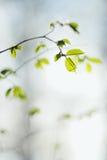 Свежая хворостина весны в селективном фокусе Стоковое Фото