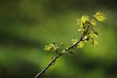 свежая хворостина весны в селективном фокусе Стоковые Фотографии RF