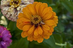 Свежая хворостина оранжевого цветка цветеня цветка zinnia в саде Стоковая Фотография RF