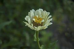 Свежая хворостина цветка цветеня цветка белого zinnia в саде Стоковое Фото