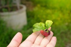 Свежая шелковица в руке с предпосылкой зеленой травы стоковое фото