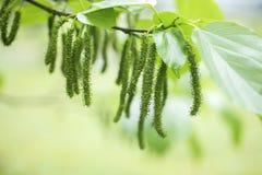 Свежая шелковица на дереве Стоковое Фото