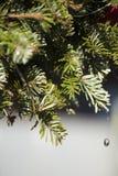 Свежая яркая ая-зелен предпосылка ели Стоковые Фотографии RF