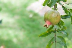 Свежее гранатовое дерево на дереве Стоковые Изображения