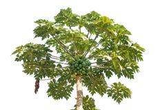 Свежее дерево папапайи с изолированный на белизне Стоковое Изображение RF