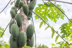 свежее дерево папапайи с пуком плодоовощей Стоковое Фото