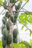 свежее дерево папапайи с пуком плодоовощей Стоковые Фото