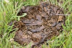 Свежее дерьмо коровы на зеленой траве Стоковое Изображение