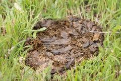 Свежее дерьмо коровы на зеленой траве Стоковое Фото