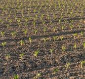 Свежее засаженное поле табака Стоковое фото RF