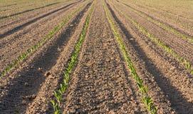 Свежее засаженное поле табака Стоковое Изображение