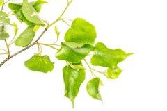 Свежее зеленое растение изолированное на белизне Стоковое фото RF