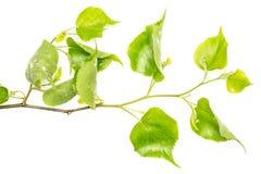 Свежее зеленое растение изолированное на белизне Стоковые Фотографии RF