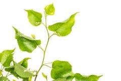 Свежее зеленое растение изолированное на белизне Стоковая Фотография