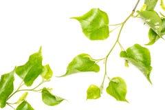 Свежее зеленое растение изолированное на белизне Стоковые Изображения RF
