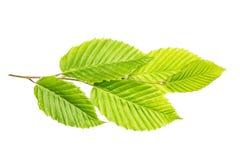 Свежее зеленое растение изолированное на белизне Стоковое Изображение