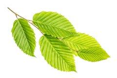 Свежее зеленое растение изолированное на белизне Стоковые Изображения