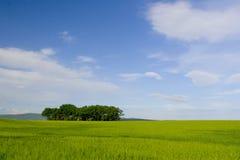 свежее зерно Стоковая Фотография