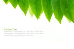 Свежее зеленое разрешение в белой предпосылке Стоковое Изображение