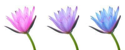 3 свежее и красивые фиолетовые цветки лотоса стоковые изображения