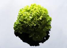 Свежее и курчавое зеленое letucce Стоковое Изображение