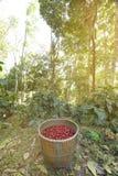 Свежее кофейное зерно в корзине Стоковые Фото