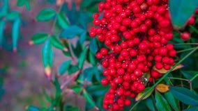 Свежее красное дерево кофейных зерен стоковое фото