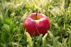 Свежее красное яблоко в траве Стоковые Изображения