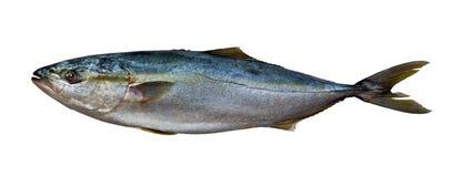 Свежее мясо тунца Стоковое Изображение