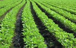 свежее поле сои Стоковая Фотография RF