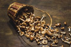 Свежее помещенное mellea Armillaria грибов Стоковое Изображение
