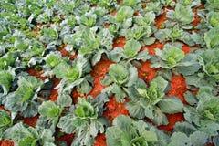 Свежее растущее поле зеленой капусты Стоковое Изображение