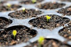 Свежее растущее семя салата Стоковое Фото