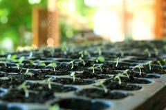 Свежее растущее семя салата Стоковое фото RF