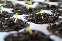 Свежее растущее семя салата Стоковая Фотография