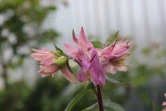 Свежее розовое columbine растущее цветка в саде Стоковая Фотография