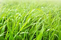 свежее утро зеленого света травы Стоковое Изображение RF