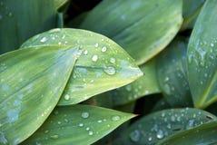 свежее утро листьев Стоковые Изображения RF