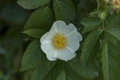 Свежее цветене одичалого подняло, brier или canina Розы цветок в саде Стоковая Фотография