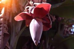 Свежее цветение банана на банановом дереве стоковые фото