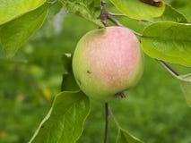 Свежее яблоко на дереве Стоковые Фотографии RF