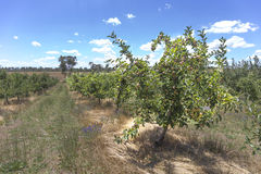 Свежее яблоко от сада Стоковое Фото