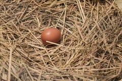 Свежее яичко в гнезде цыпленка Стоковое фото RF