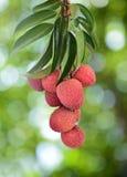 Свежее lychee на дереве Стоковые Фотографии RF
