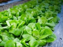 Свежесть овоща капусты стоковое фото rf