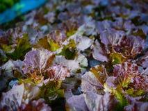 Свежесть овоща капусты стоковое изображение