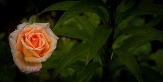 Свежесть розария после дождя, красочной розы апельсина с космосом экземпляра Стоковые Изображения RF