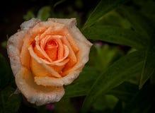 Свежесть розария после дождя, красочной розы апельсина Стоковое фото RF