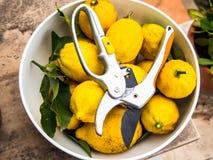 свеже выбранные лимоны стоковое изображение